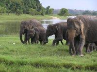 Sri Lanka_elephants family (Minneriya national Park)