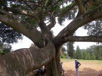 Sri Lanka_what a tree!