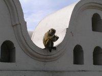 Sri Lanka_monkey in Tooth Temple