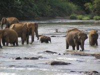Sri Lanka_bathing elephants