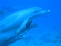 UNDERWATER_Dolphines! (Red Sea, Egypt)