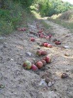 AU_apples