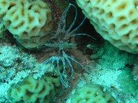 UNDERWATER_baby of lionfish