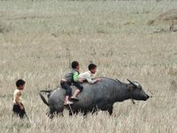 Children riding a water buffalo