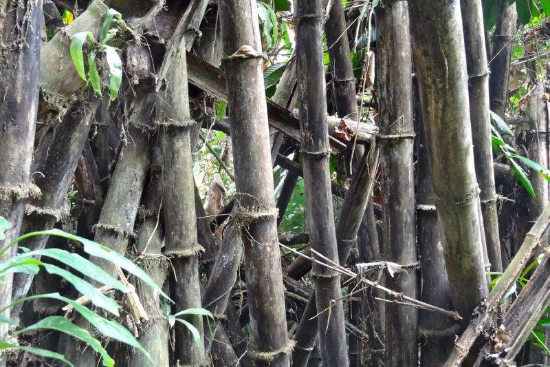 Bamboo Jungle