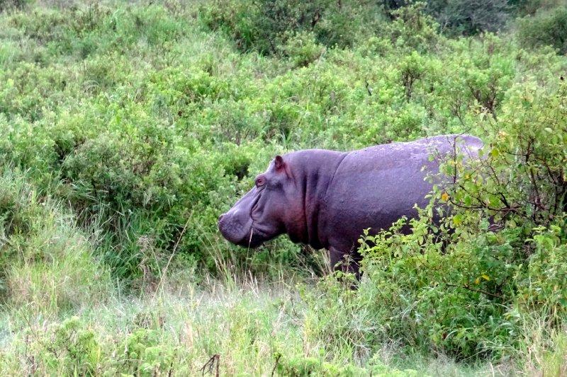 Hippo in the shrubs