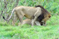 Lion friends