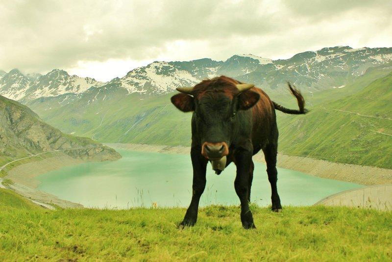 la vache d'Hérens
