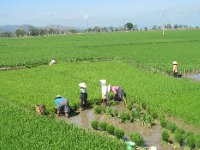 Working in the Rice Fields