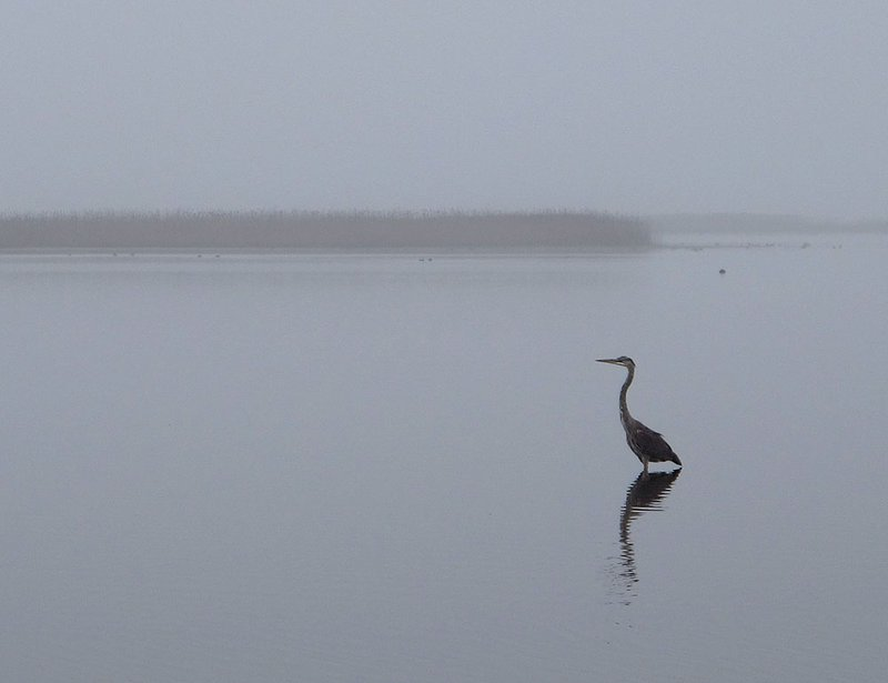 Heron at Prime Hook