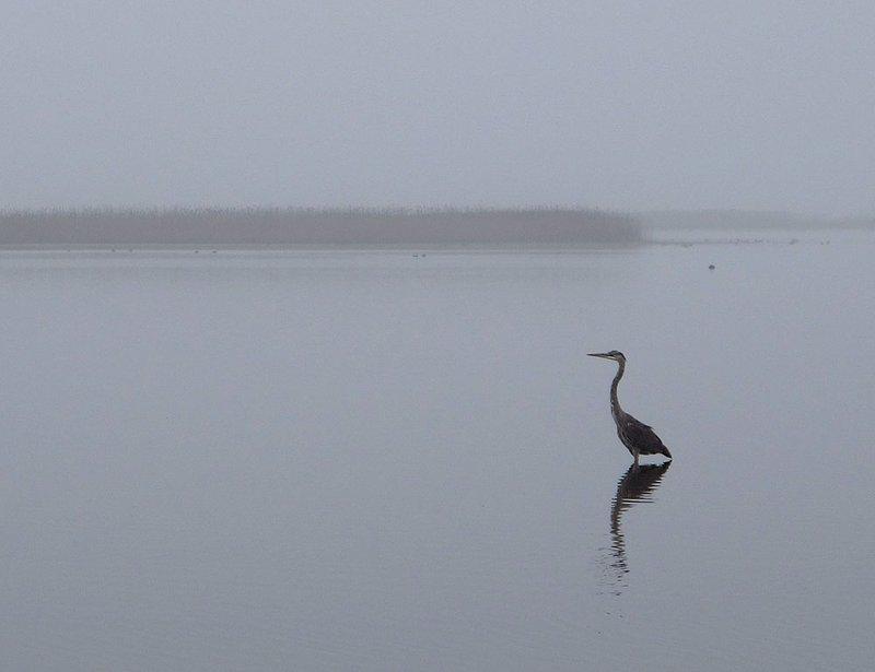 Heron at Prime Hook