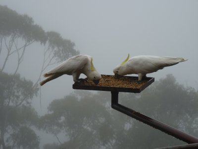 Sulphur-crested Cockatoos at Blue Mountains
