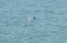 Dolphin in Swan River