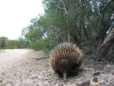 Echidna close to Manly beach