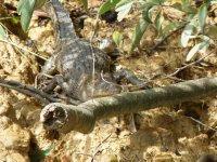 Crocodile in Daintree River