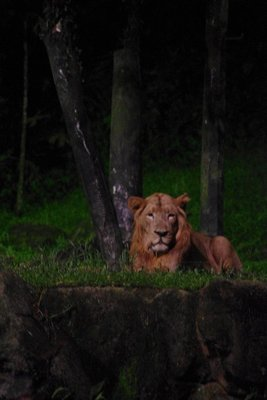 Night Safari Lion