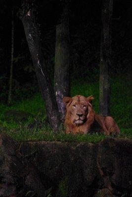 Night Safari Lion