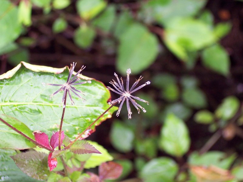 Dewdrops on Flowers - Doi Inthanon