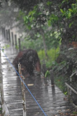Orangutans in the downpour...