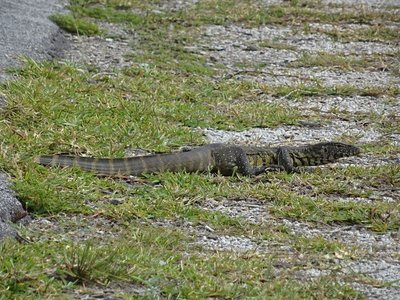 Water monitor crossing the road