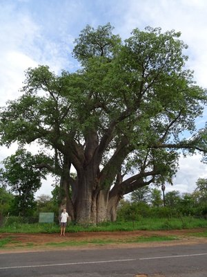Don showing how big the Baobab was