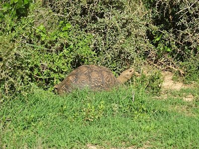 A large leopard tortoise beside the road