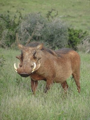 One of the many warthogs, such a handsome fella!