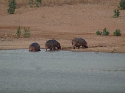 Three hippos on their way for supper