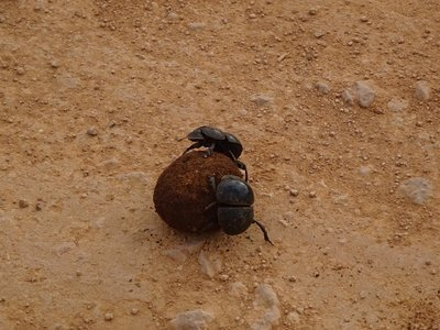 Dung beetles with the ball of dung that she lays one egg in