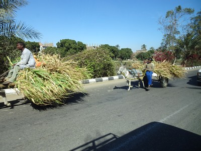 Hauling sugar cane
