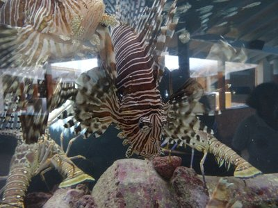 Lionfish at aquarium