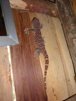 The Tokay gecko behind my bathroom mirror in my bungalow on Koh Rong.