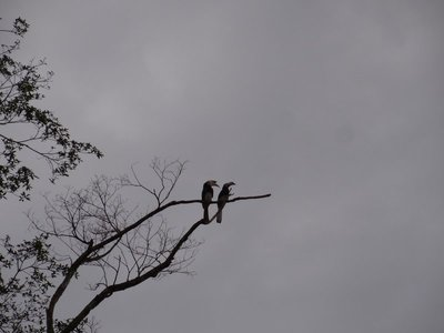 A pair of Oriental Pied Hornbills. They mate for life, and never find another partner if one dies, aaaahh.