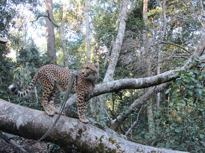 Storms River and cheetahs 201
