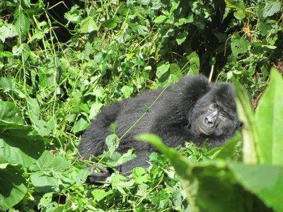 gorilla trek 072