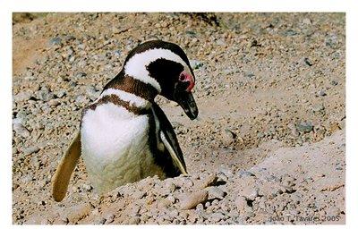 Pim Pim Pinguim