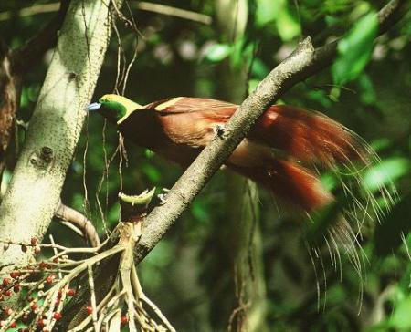 bird of paradise.howarig.2015