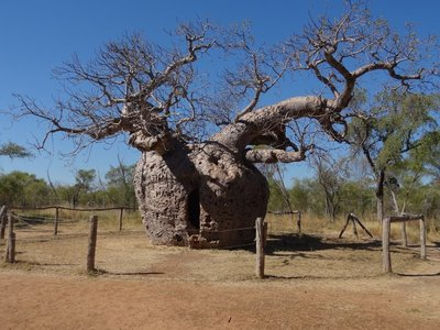 The Boab prison, incidentally Bethany's favourite type of tree, the Boab tree