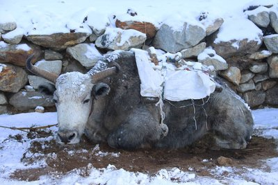 Yak after the snow