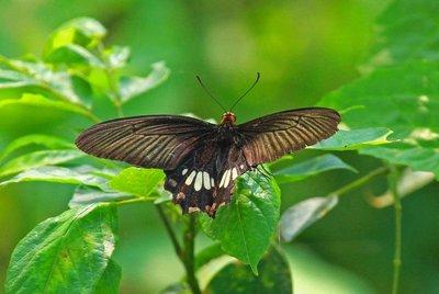 Black Butterfly - Chitwan