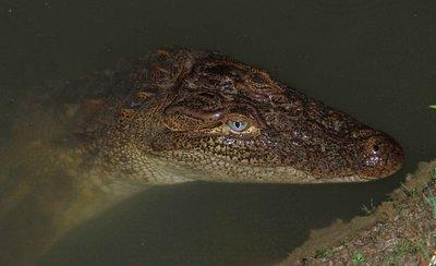 Baby Croc - Chitwan