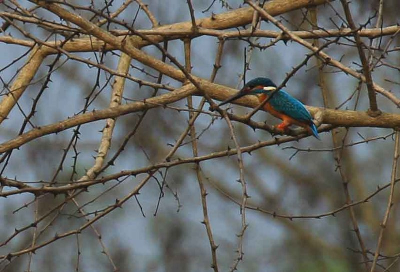Kingfisher - Chitwan