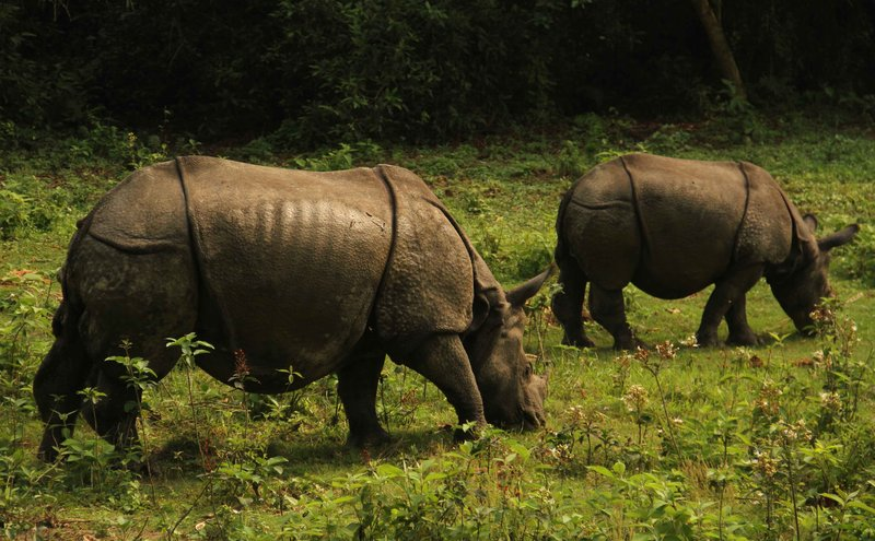 Rhinos of Chitwan