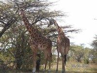 Mombasa Masai Mara Safaris, Migration Safaris, Amboseli Safaris,Nakuru Safaris,Tsavo Safaris,Mombasa Air Safaris.