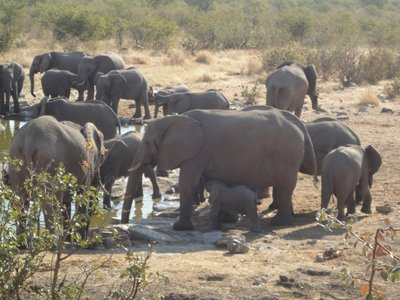 Tiny feeding. The smallest elephant we've ever seen was always guarded by his mum, aunties and siblings.