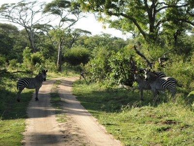 zebras resized
