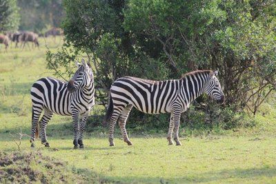 Beautiful zebras. Great looking herbivores