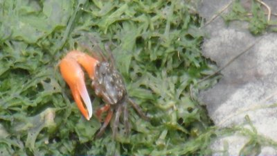 The fearsome one clawed crab