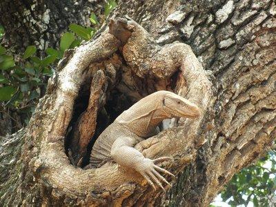 Monitor Lizard, Yala National Park, Sri Lanka