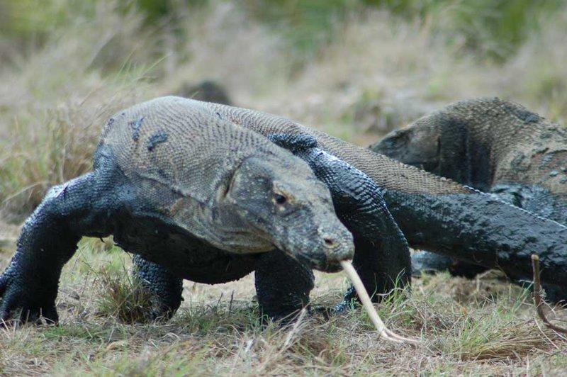 Komodo Dragon - Rinca, Kmodo National Park